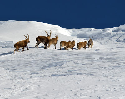 The beautiful surprises of snowshoeing hike with the meeting of a horde of ibexes.